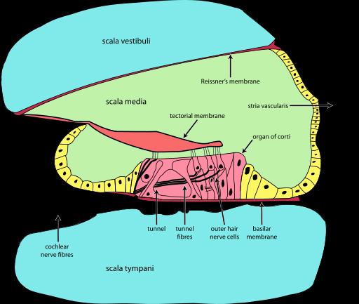 How We Hear  A Trip Through The Inner Ear